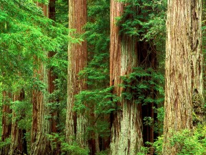 big-basin-redwood-park-california