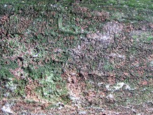 muschio sul tronco
