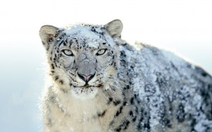 leopardo-nevi