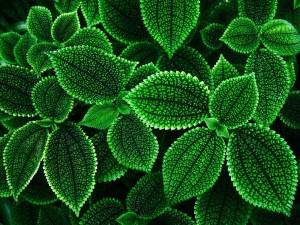 foglie-verdi