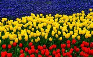 tulipani tricolori