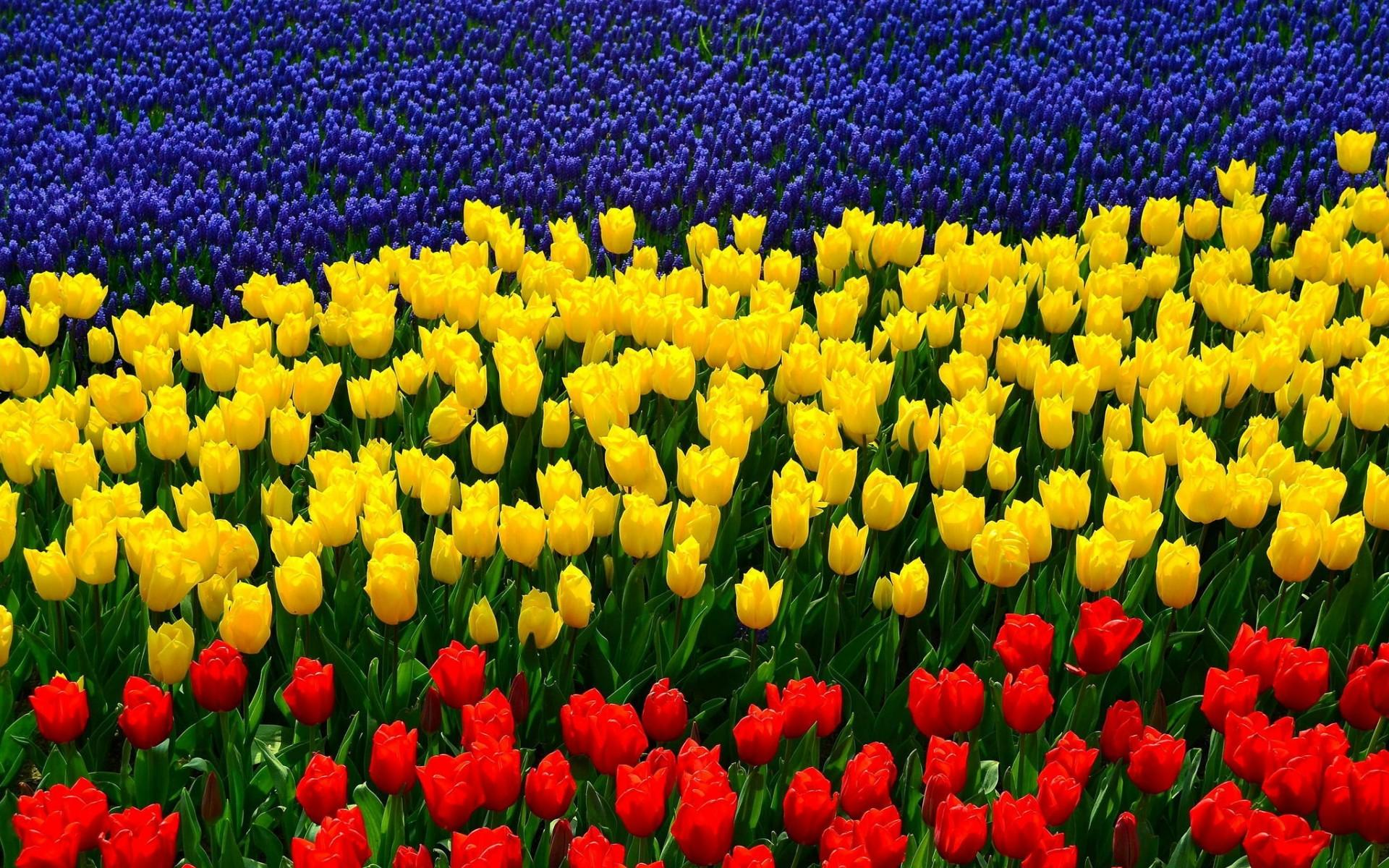 Desktop Wallpaper 204 – Tulipani tricolori