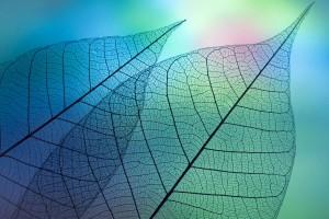 macro foglie trasparenti